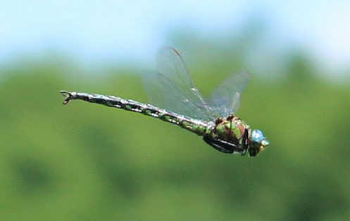 Cyrano Darner by LadyDragonflyCC via Flickr Creative Commons license
