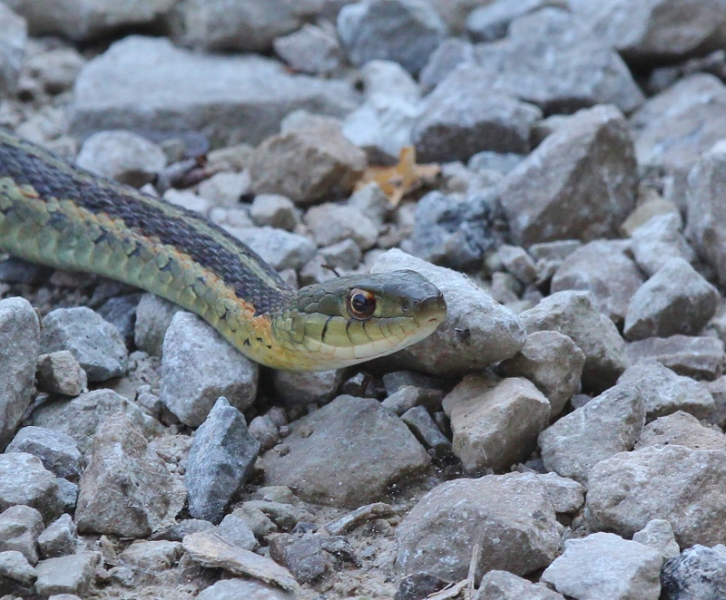 Garter snake head closeup (800x662)