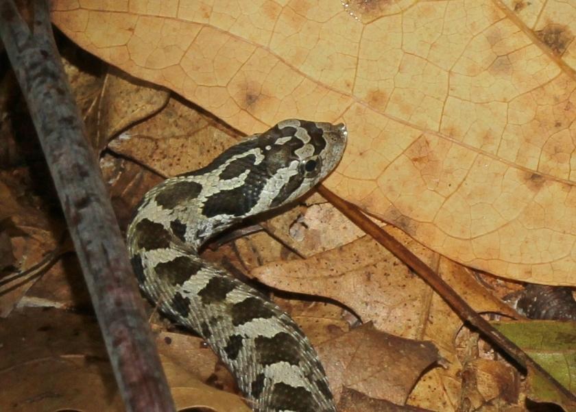 Hog-nosed Snake - head crop