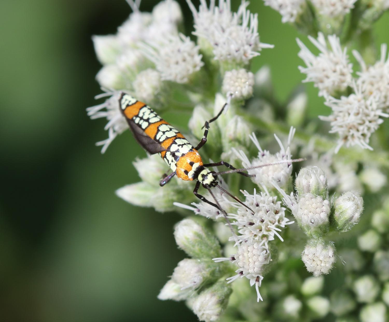 Ailanthus webworm moth - blog