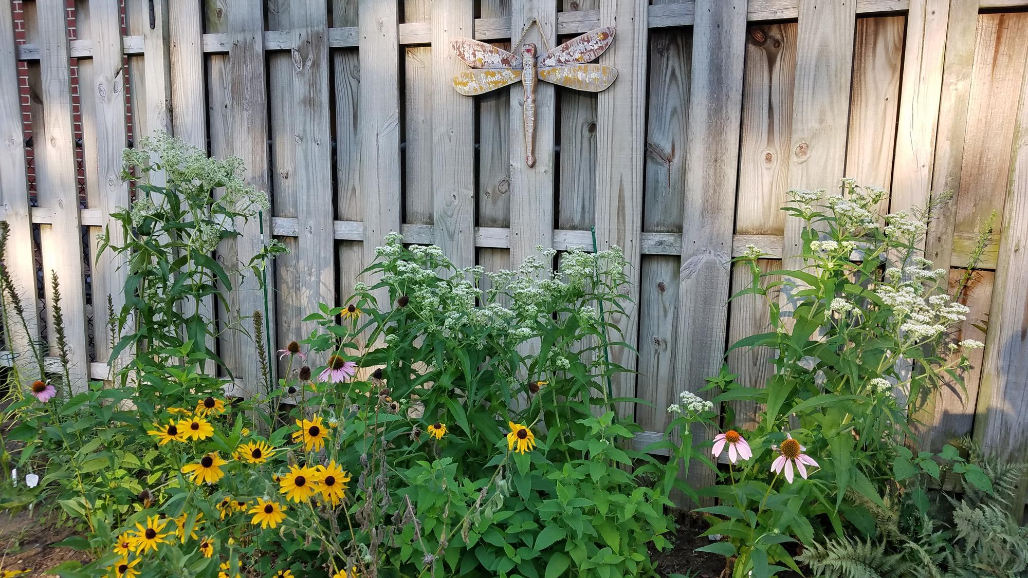 boneset in my garden