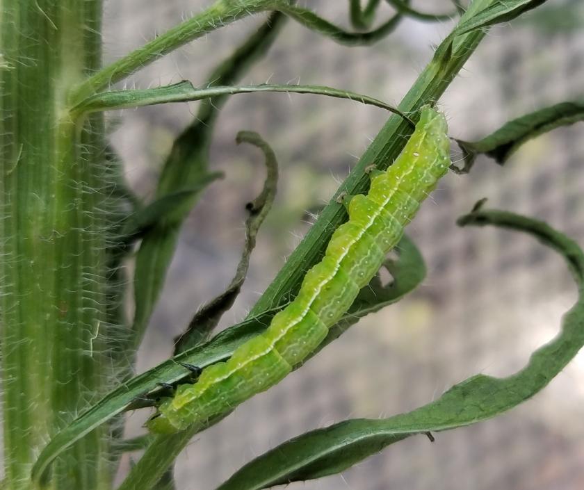 Cabbage Looper moth caterpillar v2