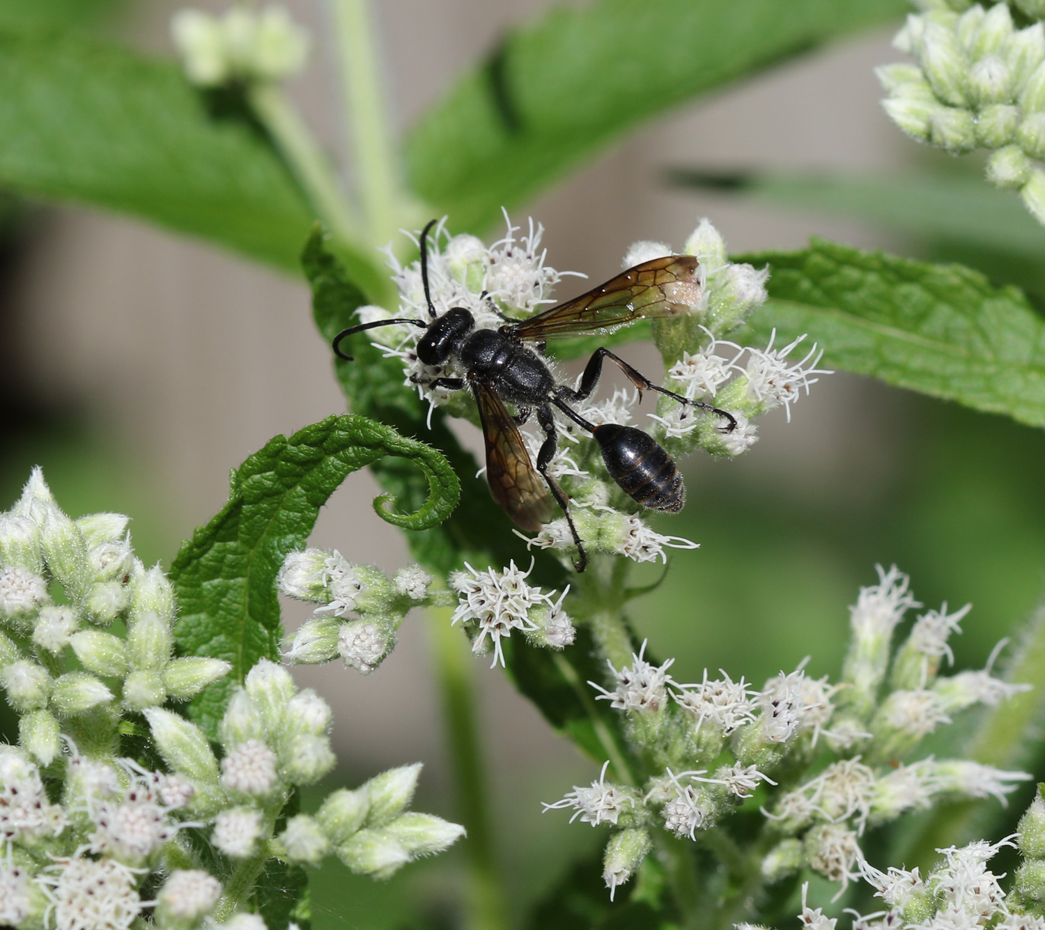 Grass-carrying Wasp - Isodontia mexicana