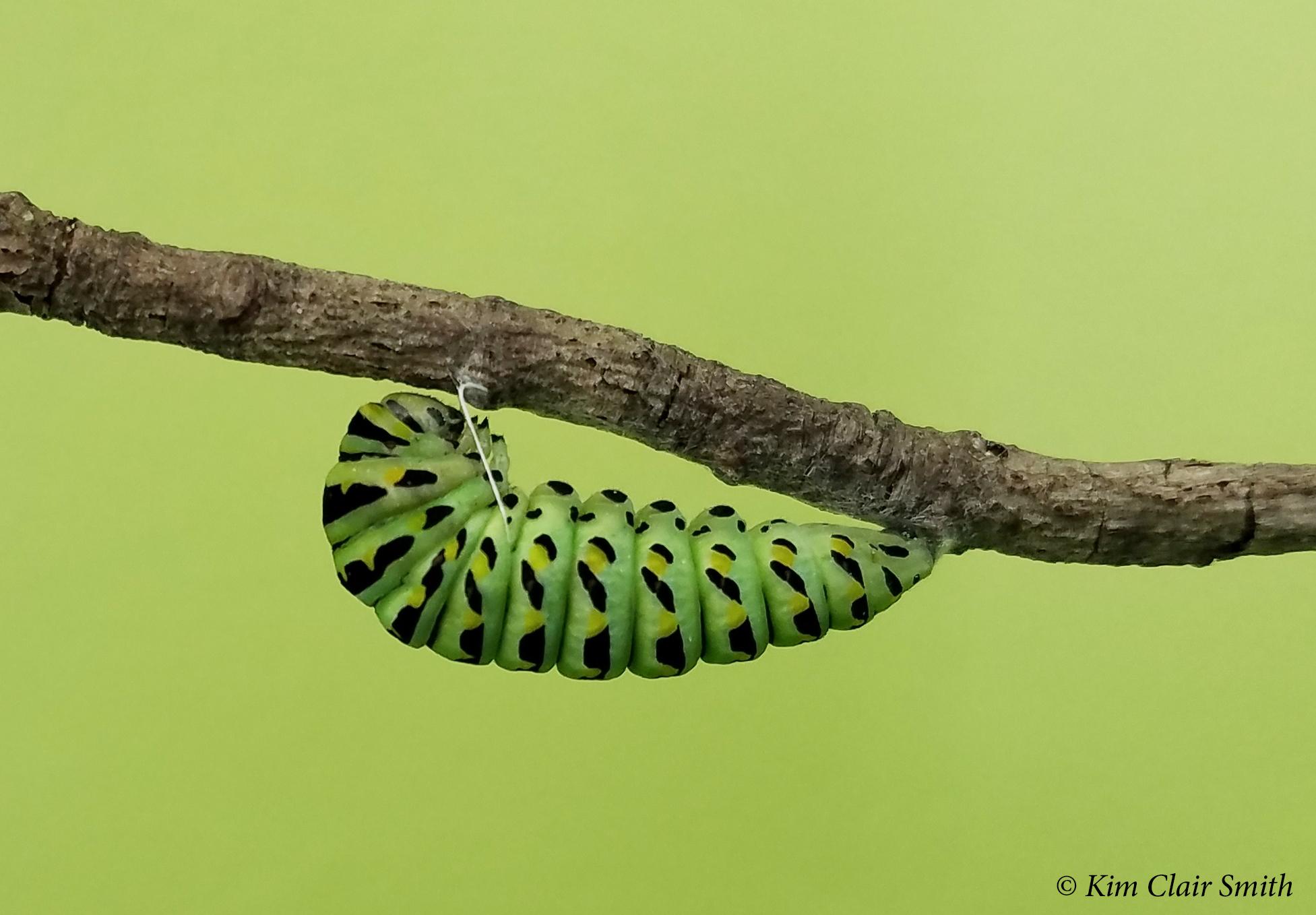 Black swallowtail caterpillar beginning to pupate - w sig - blog