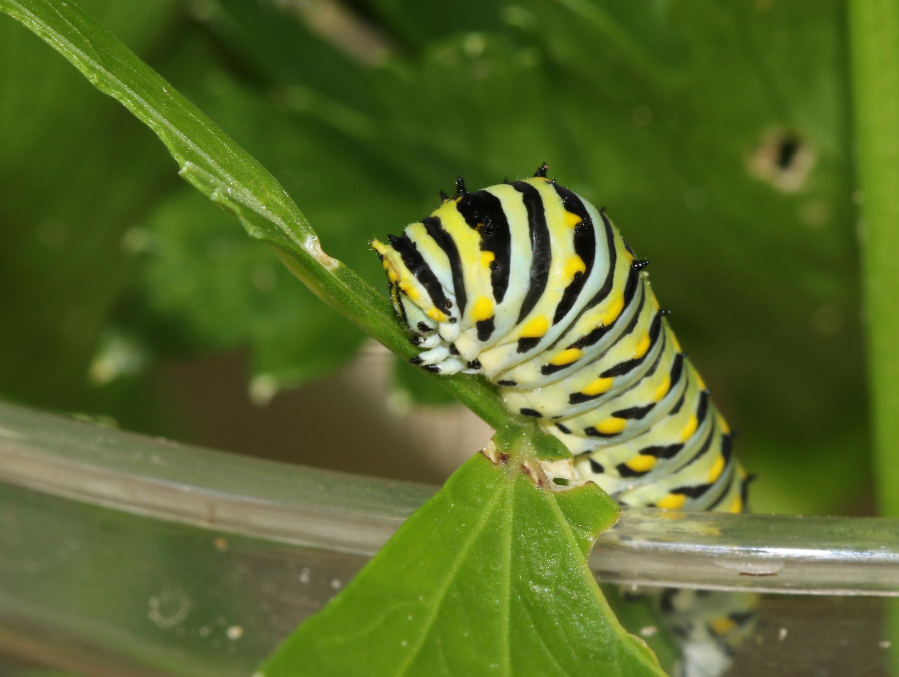 Black swallowtail caterpillar - blog