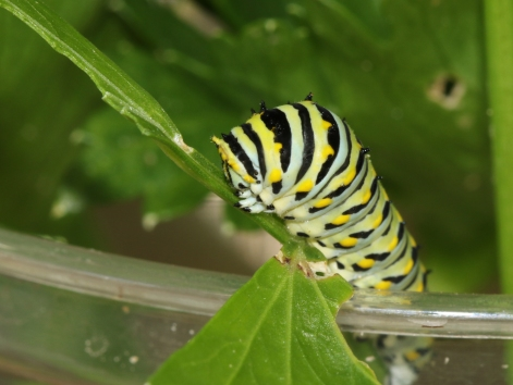 Black swallowtail caterpillar - blog