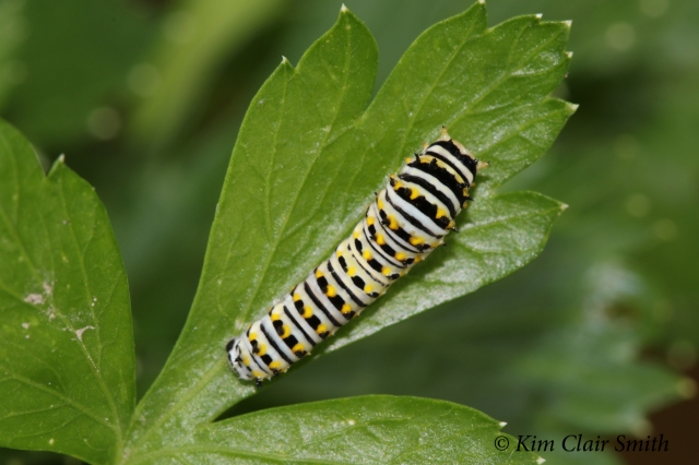 Black swallowtail caterpillar - middle instar - w sig - blog