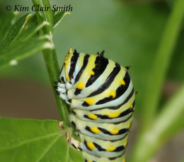 Black swallowtail caterpillar on 9-3-18 w sig - blog