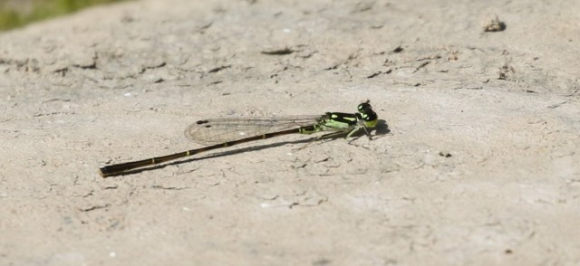 Fragile forktail - blog
