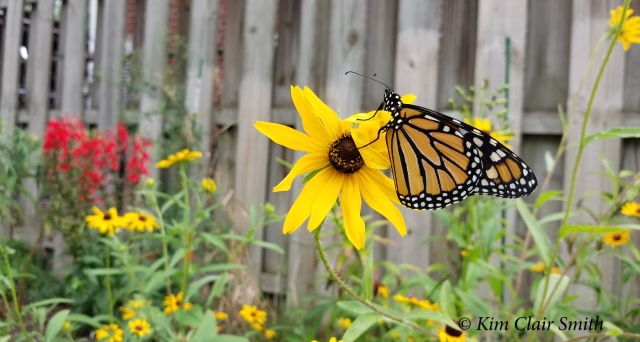 Male monarch released in my garden on 9-7-18 - blog