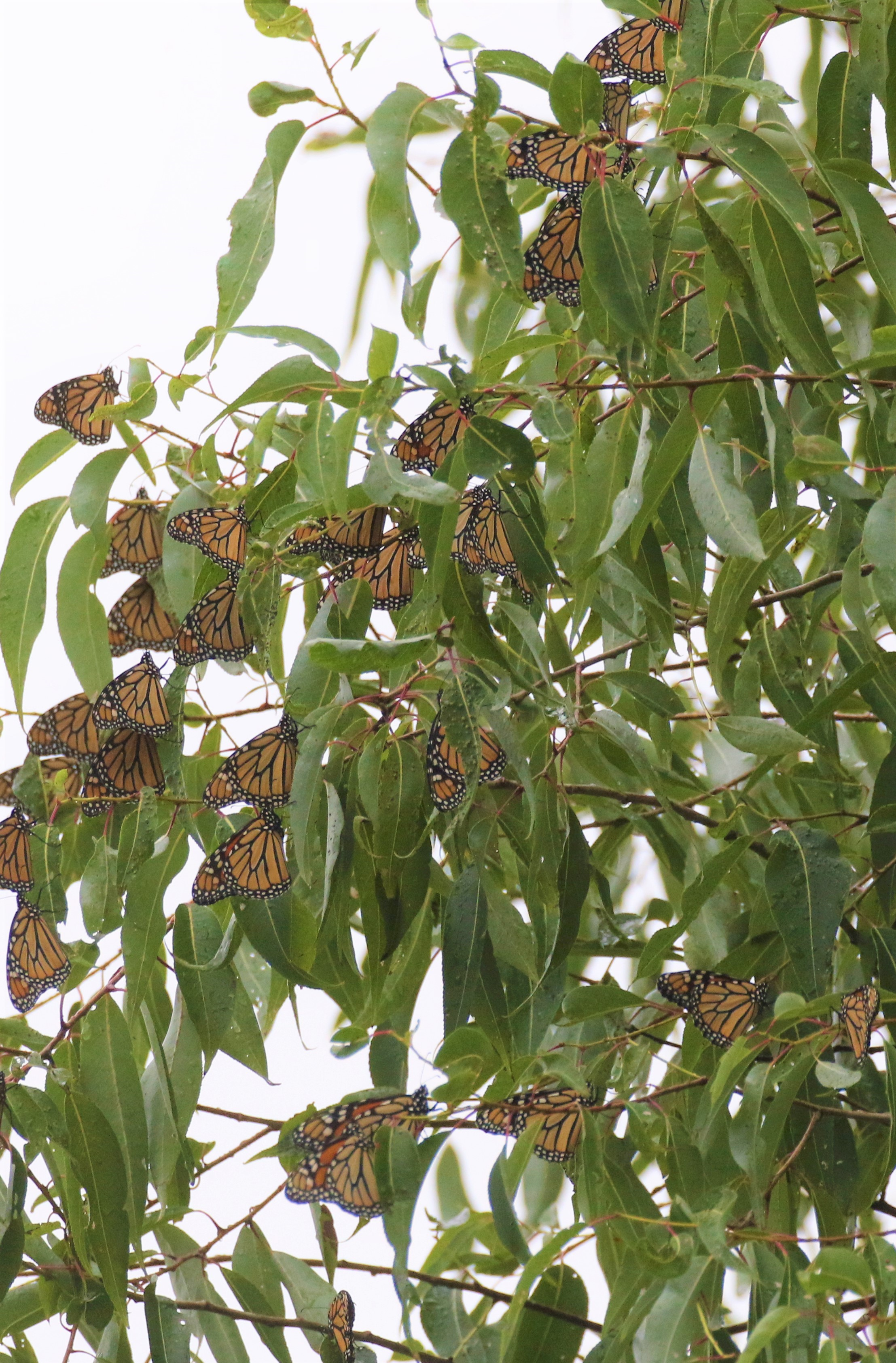 monarch migration at ONWR (13)