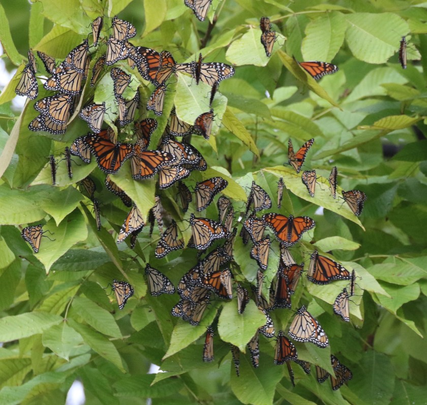 monarch migration at ONWR (4)