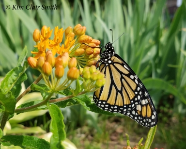 Monarch on butterfly weed in my yard - blog