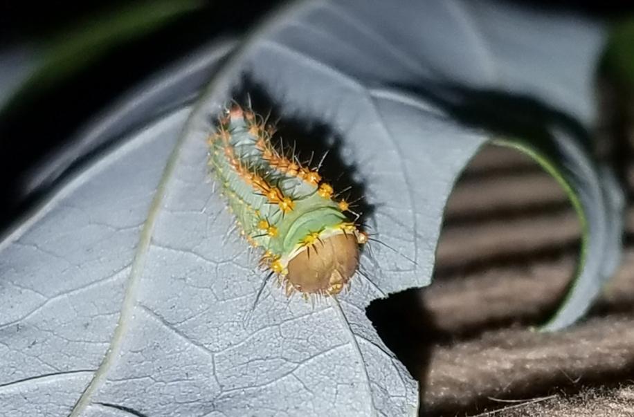Polyphemus caterpillar on 9-1-18 - blog
