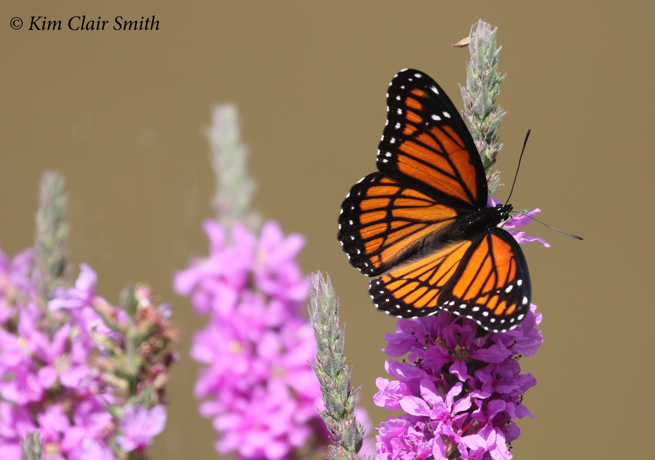 Viceroy butterfly w sig - blog