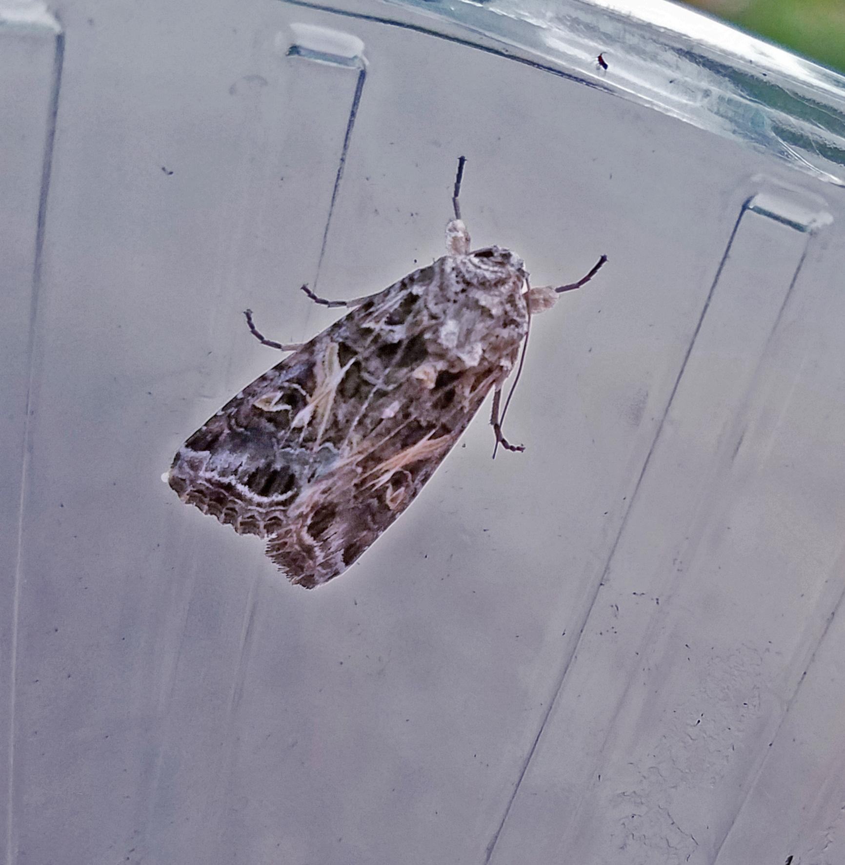 Yellow-striped armyworm moth - blog