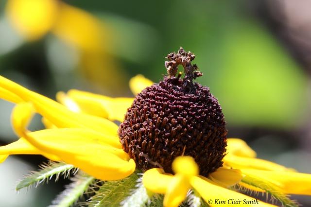 Camouflaged looper caterpillar - Wavy-lined emerald moth larva - synchlora aerata