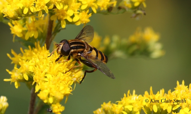 Narrow-headed sunfly - Helophilus fasciatus w sig