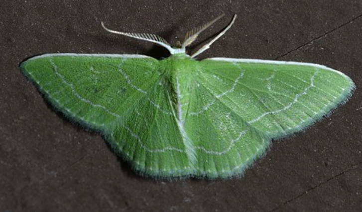 Wavy-lined emerald moth from WikiCommons