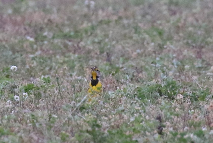 Eastern meadowlark in late October - Jackson County Michigan (6)