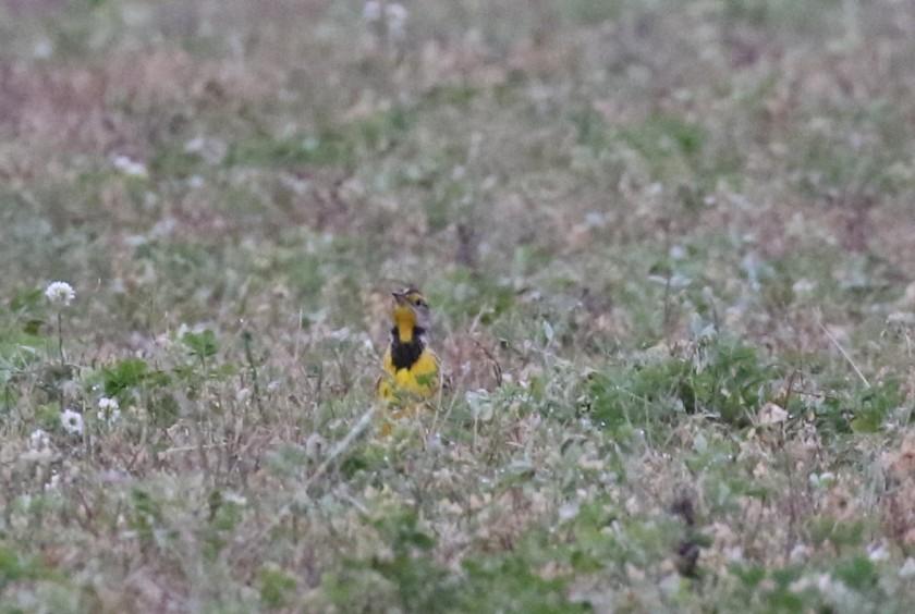 Eastern meadowlark in late October - Jackson County Michigan (6)
