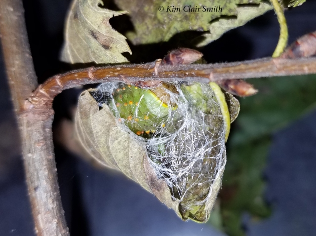 Polyphemus beginning cocoon 10-31-18 at 6 pm - blog