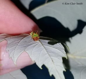 Polyphemus caterpillar early instar with fingers for scale - for blog