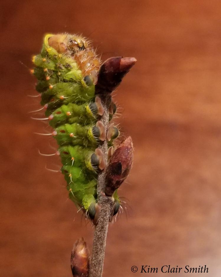 Polyphemus caterpillar's last photoshoot Oct 30 2018 - blog