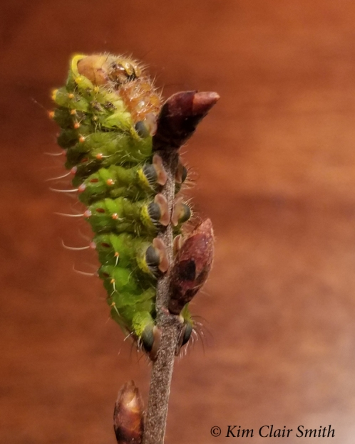 Polyphemus caterpillar's last photoshoot Oct 30 2018 - blog