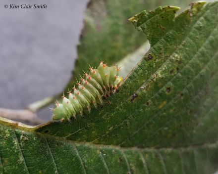 Polyphemus moth caterpillar eating elm leaf - Sept 10 2018 blog