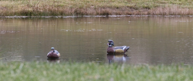 Wood ducks - slightly better view 2