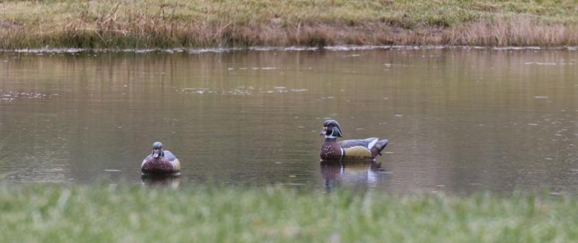 Wood ducks - slightly better view 2
