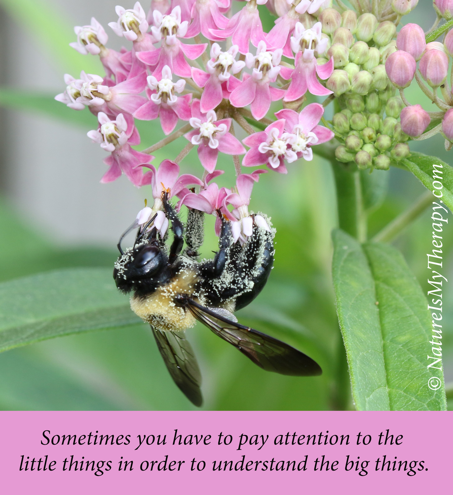 Carpenter bee on Swamp milkweed - NIMT meme - little things big things