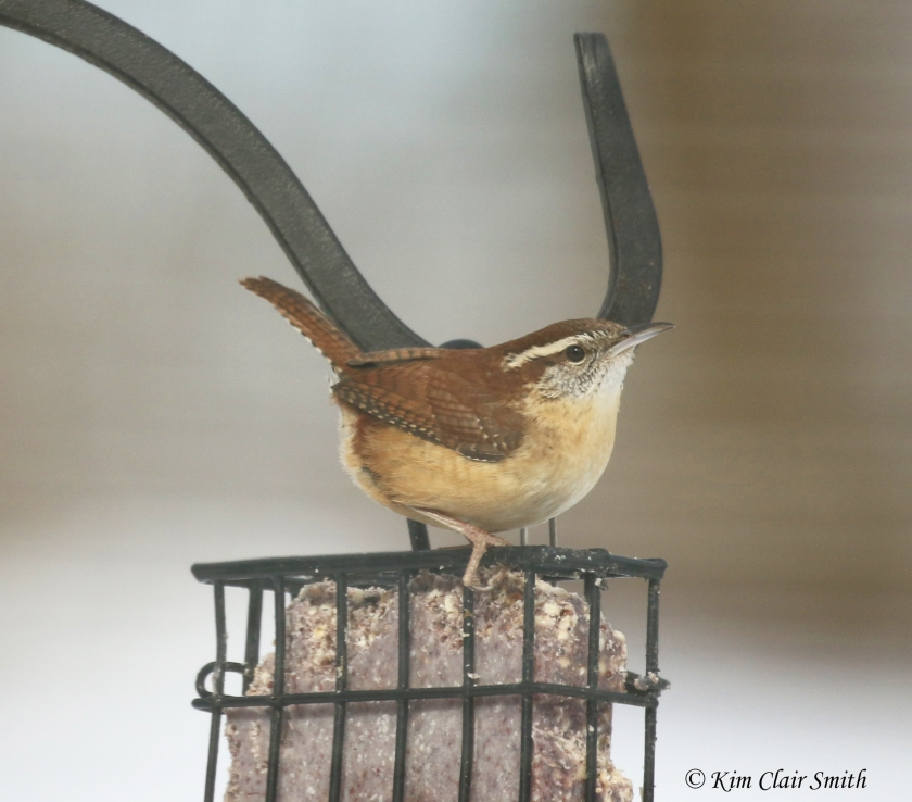 carolina wren on suet cropped w sig