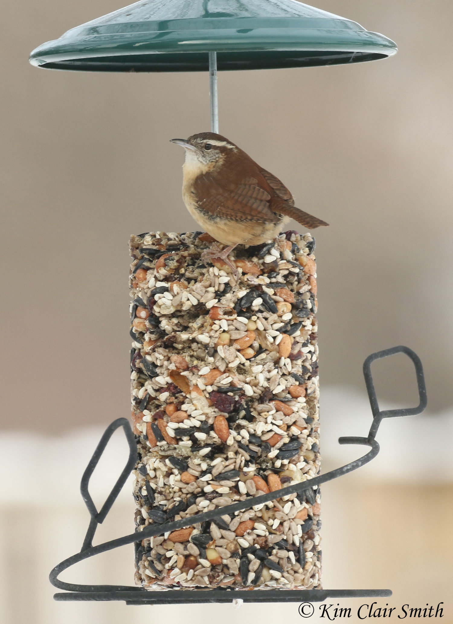 carolina wren on suet w sig
