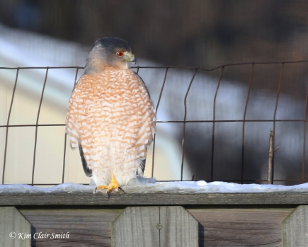 cooper's hawk on fence in my yard w sig
