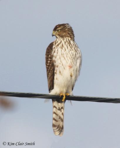 cooper's hawk w sig - my yard