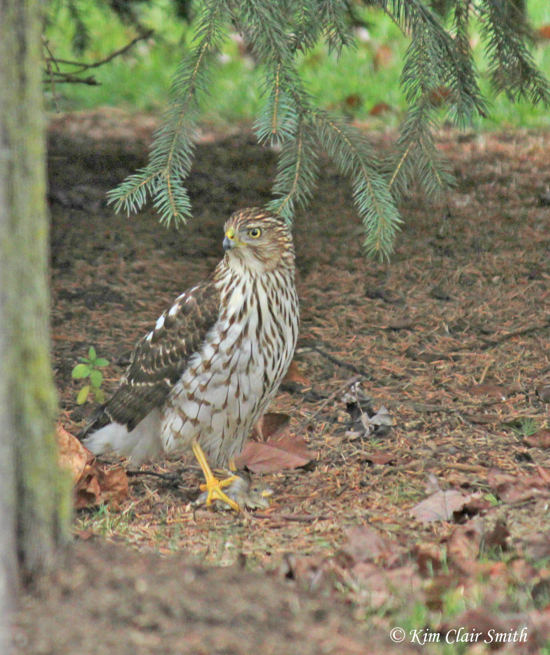 cooper's hawk with house sparrow prey w sig
