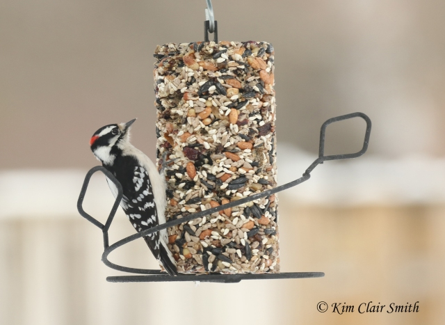 downy woodpecker on suet w sig