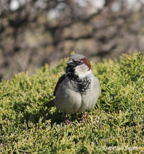 house sparrow on bush w sig