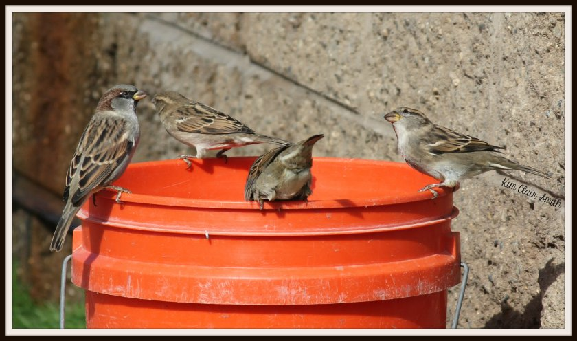 house sparrows on orange bucket at dog park w sig