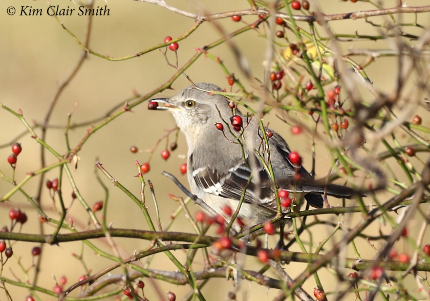 mockingbird eating rosehips from multiflora rose w sig