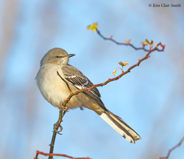 mockingbird on branch of multiflora rose w sig