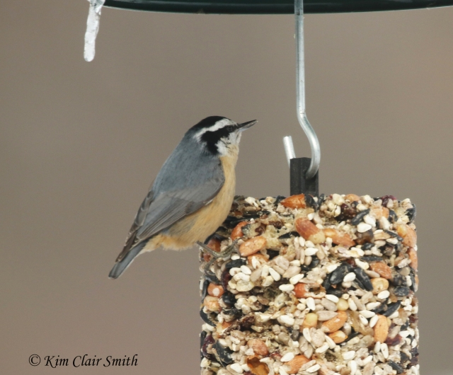 red-breasted nuthatch on suet cylinder w sig