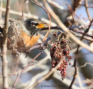 robin eating sumac fruits w sig