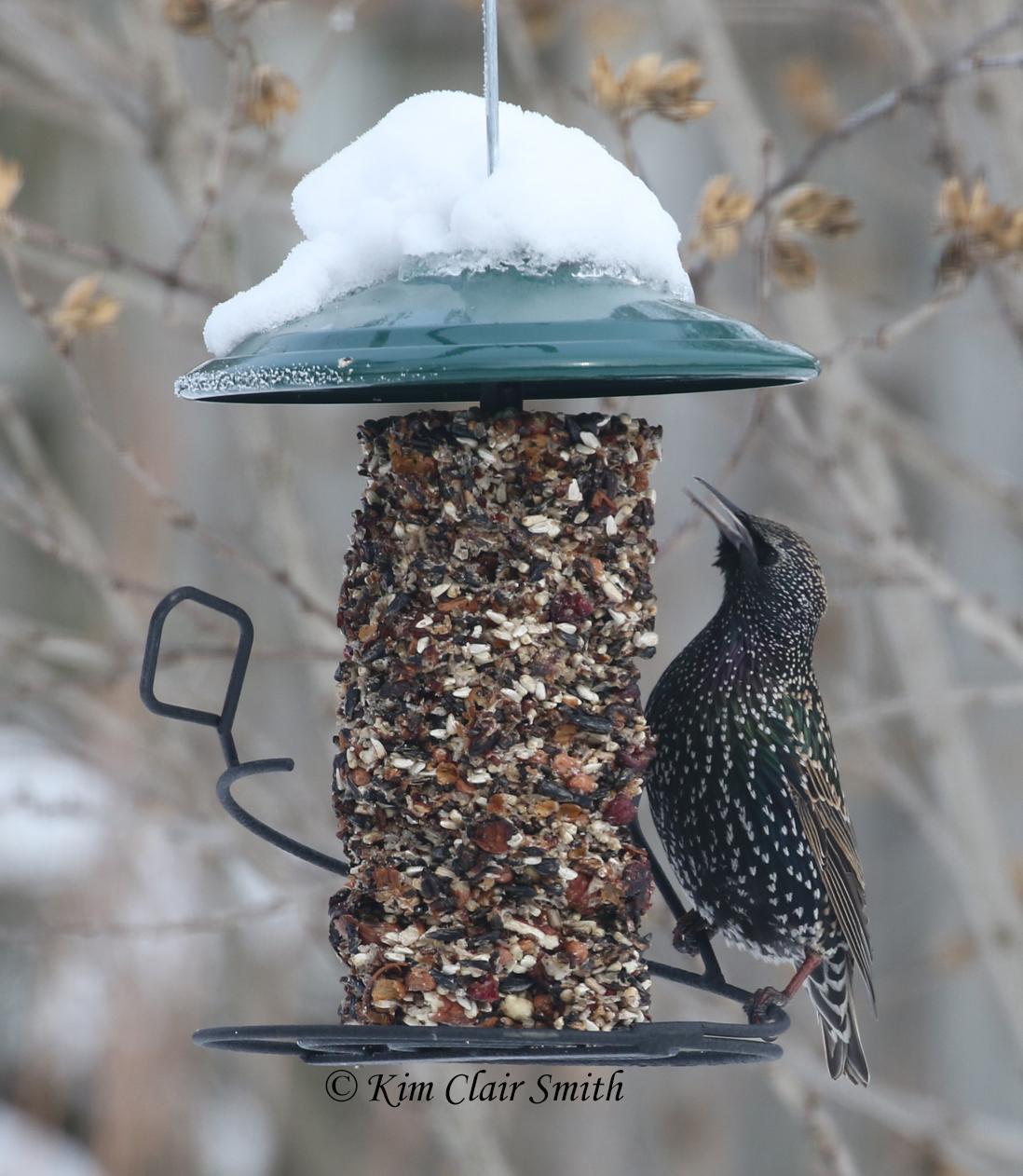starling on feeder w sig