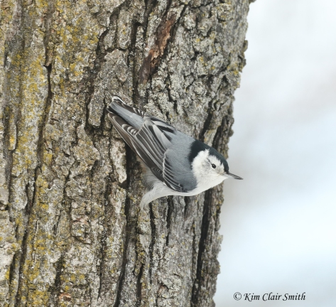 white-breasted nuthatch on tree w sig