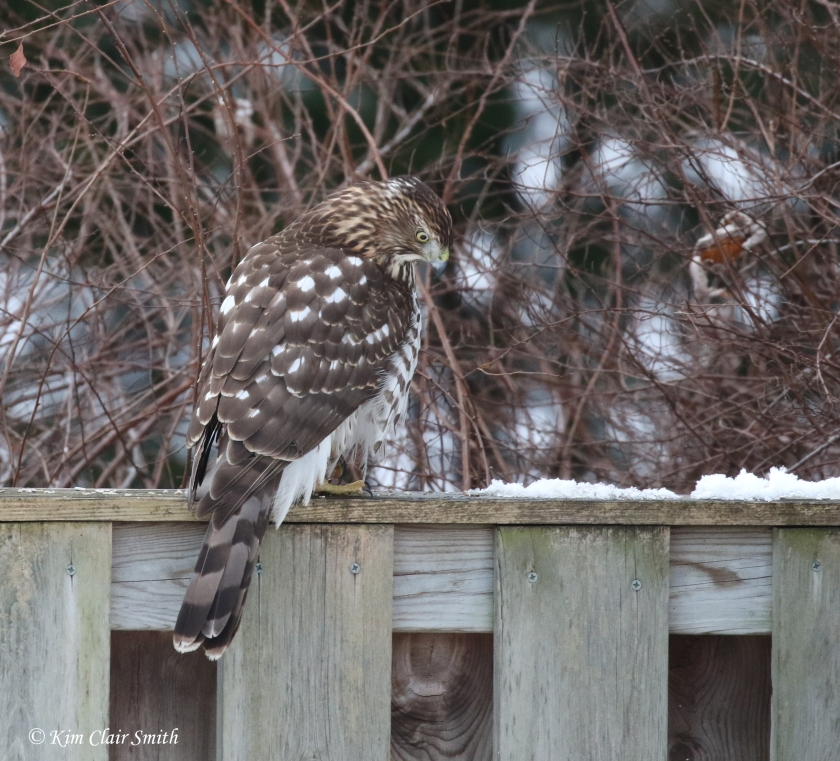 young cooper's hawk hunting on fence in my yard w sig v2