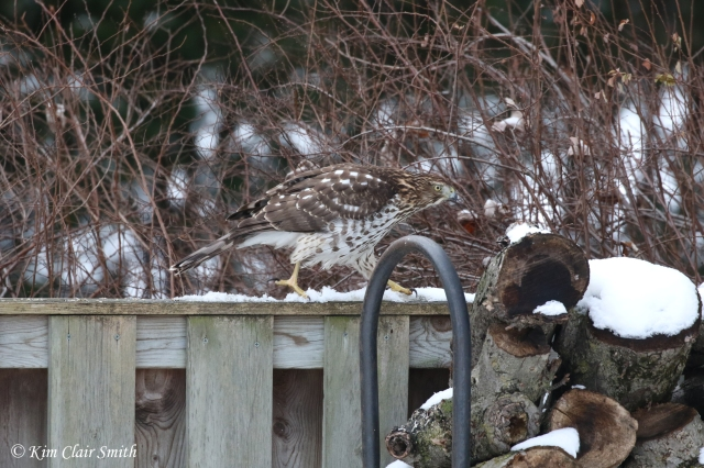 young cooper's hawk hunting on fence in my yard w sig