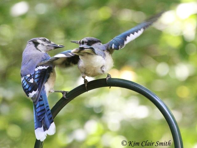 Blue Jay juvenile begging w sig